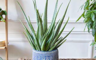 Alma, Aloe vera, plante du mois, Bergamotte, janvier 2019