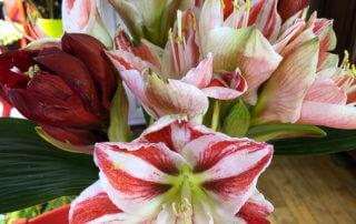 Bouquet d'amaryllis, Hippeastrum, Paris 19e (75)