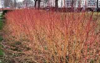Cornouiller sanguin en hiver, Cornus sanguinea, écorce décorative, Paris 12e (75)