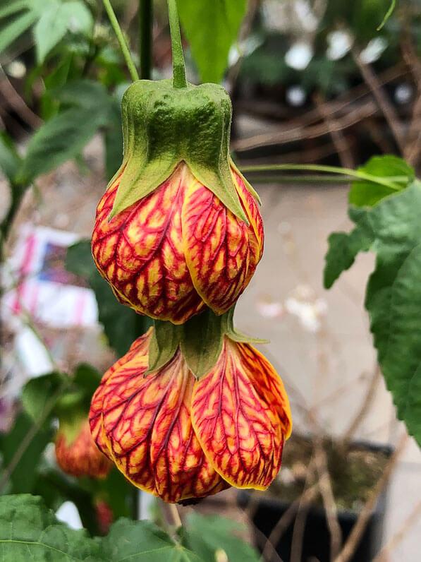Abutilon striatum 'Redvein', Malvacées, jardinerie Truffaut, Ivry-sur-Seine (94)
