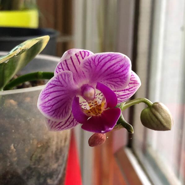 Phalaenopsis miniature à feuillage panaché, orchidée, Orchidacées, plante d'intérieur, Paris 19e (75)