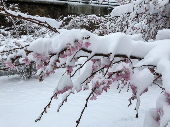 Fleurs de cerisier d'hiver (Prunus x subhirtella 'Autumnalis'), neige dans la capitale, Paris (75)