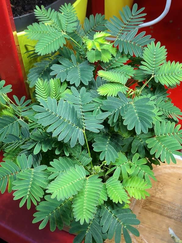 Sensitive (Mimosa pudica), plante d'intérieur, Paris 19e (75)