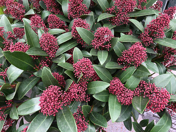 Skimmia japonica 'Rubella', jardinerie Truffaut, Ivry-sur-Seine (94)