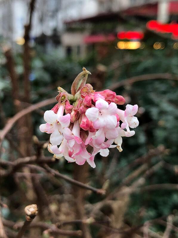 Viburnum bodnantense, viorne, Viorne de Bodnant en hiver dans l'avenue Jean Jaurès, Paris 19e (75)