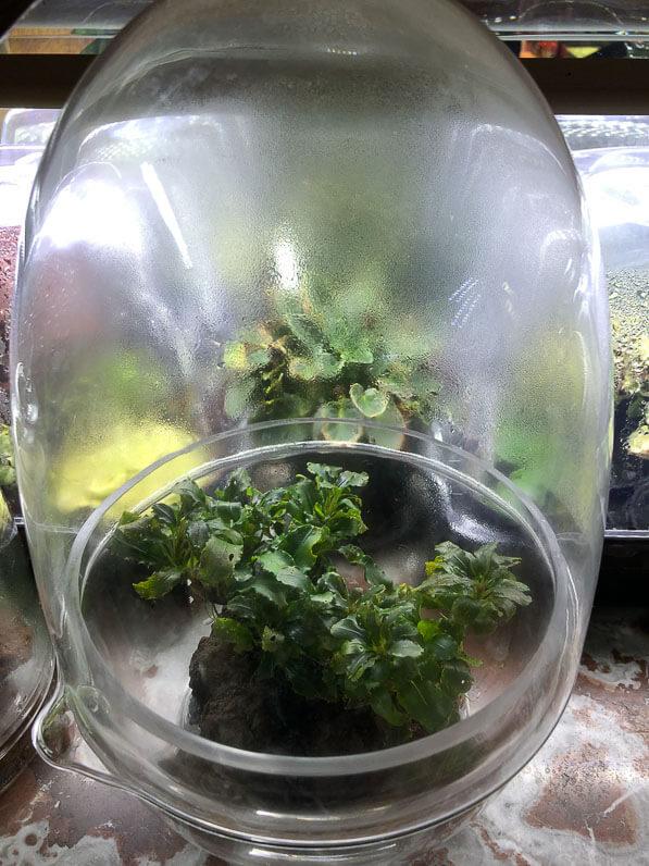 Bucephalandra cultivée dans un terrarium, Paris 19e (75)