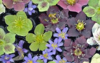 Fleurs d'hellébores dans l'eau, photo Fotolia / perlphoto