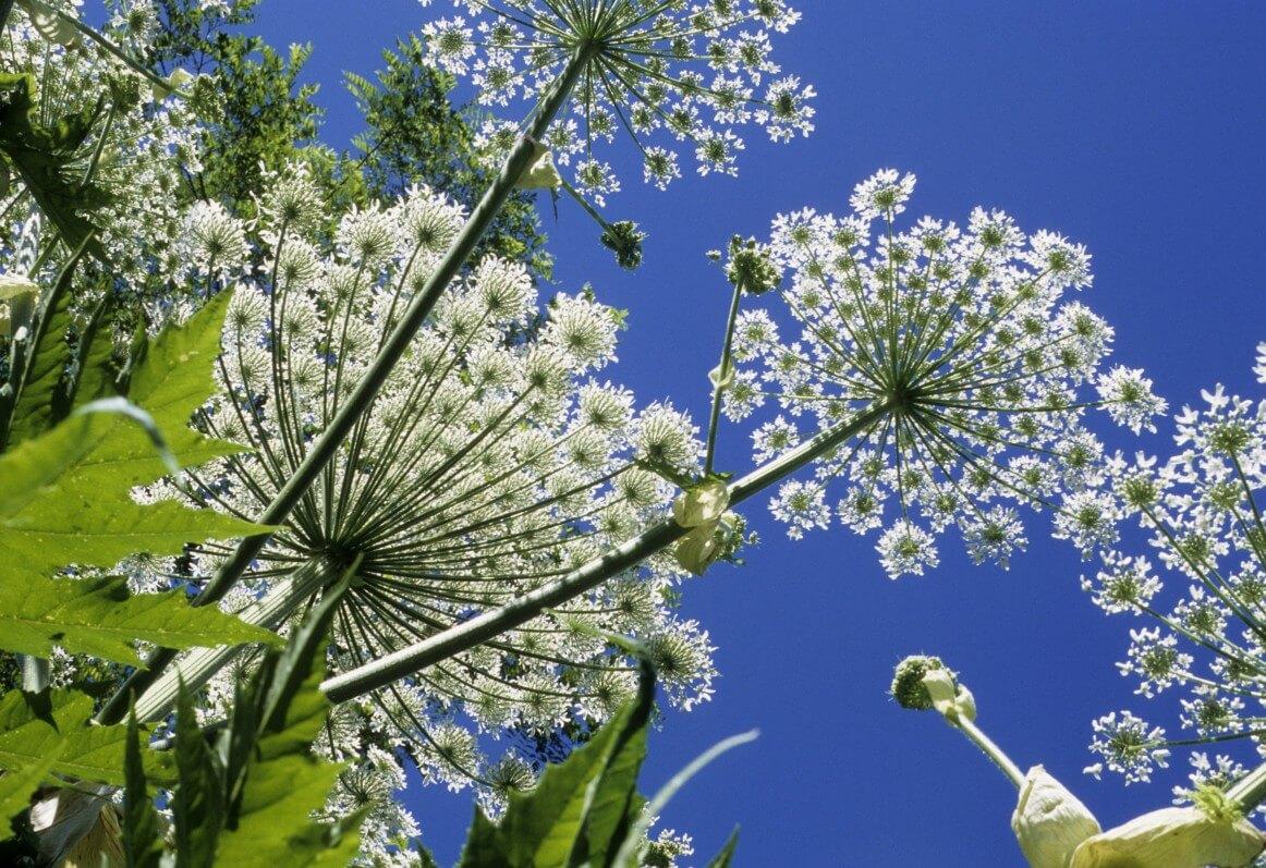 Heracleum mantegazzianum, Berce du Caucase, photo Fotolia / PIXATERRA