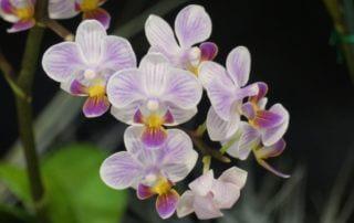 Phalaenopsis, exposition Passion Orchidées, Louveciennes, février 2019