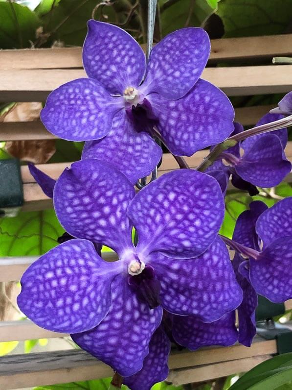 Vanda hybride, exposition 1001 orchidées, Jardin des Plantes, Paris 5e (75)