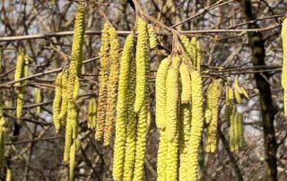 Noisetier (Corylus), floraison, chatons en hiver dans le Jardin des plantes, Paris 5e (75)