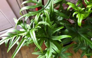 Doryopteris pedata, fougère, plante d'intérieur, Paris 19e (75)