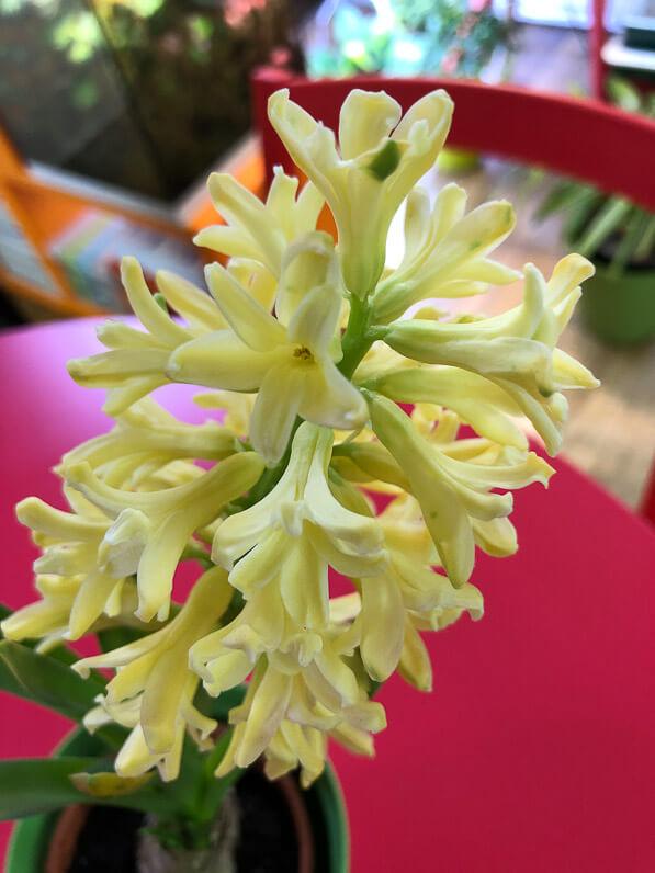 Jacinthe forcée à fleurs jaunes, plante bulbeuse, potée fleurie, Paris 19e (75)