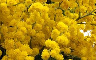 Bouquet de mimosa (Acacia dealbata), Fleurs de France, Salon International de l'Agriculture 2019, Paris Expo porte de Versailles, Paris 15e (75)