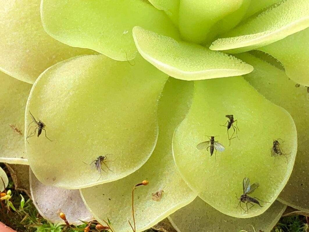 Moucherons englués sur les feuilles de PInguicula 'Weser', plante carnivore, plante d'intérieur, Paris 19e (75)