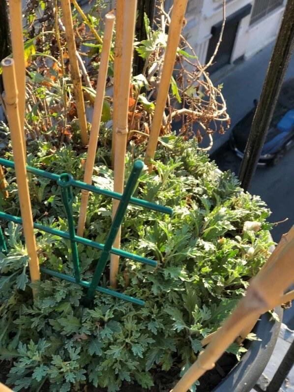 Nouvelles pousses, potée de chrysanthème, Chrysanthemum, Chrysanthemum 'Goshoma Haru', en hiver sur mon balcon parisien, Paris 19e (75)
