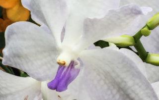 Vanda hybride, orchidée, février 2016, photo Alain Delavie
