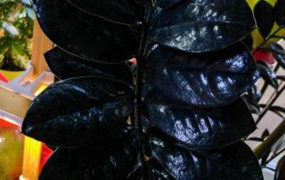Zamioculcas 'Raven', feuillage noir, Aracée, Araceae, plante d'intérieur, Paris 19e (75)
