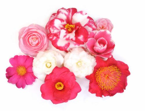 8ème exposition vente de Camellia à La Croix en Brie les 7 et 8 mars 2020