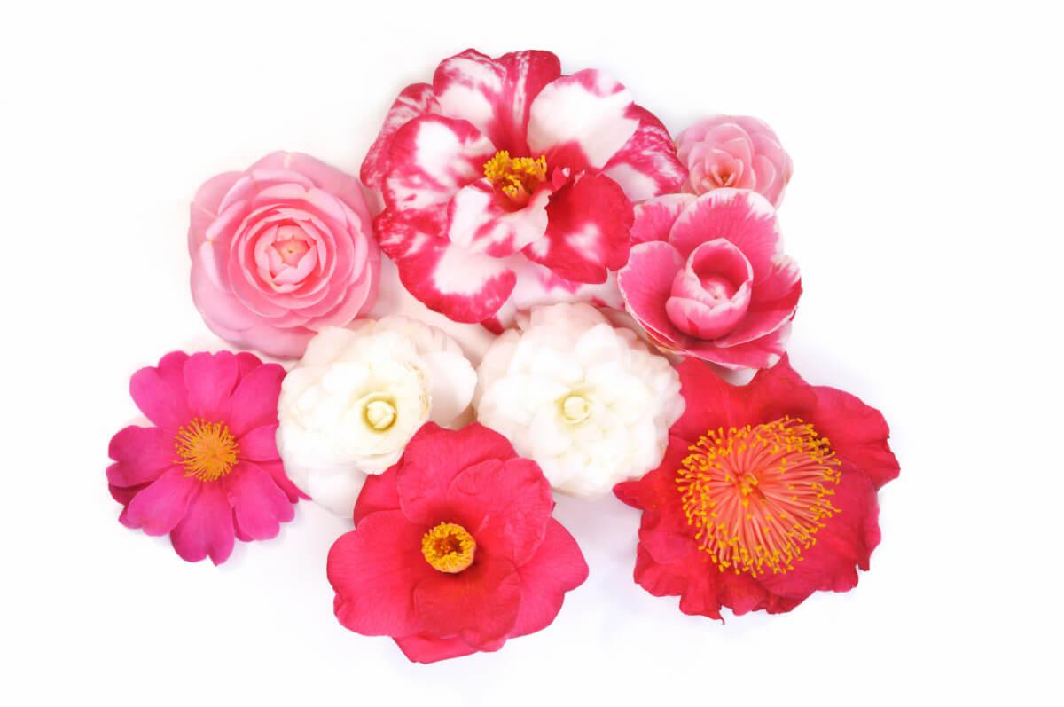 Fleurs de différentes variétés de Camellia, Fotolia / dreamnikon