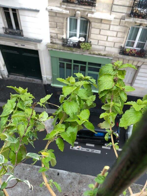 Caryopteris x clandonensis 'Good as Gold' en fin d'hiver sur mon balcon parisien, Paris 19e (75)