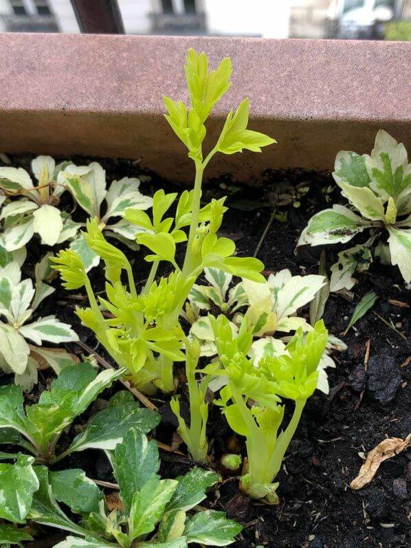 Lamprocapnos spectabilis 'White Gold', plante vivace, en fin d'hiver sur mon balcon parisien, Paris 19e (75)