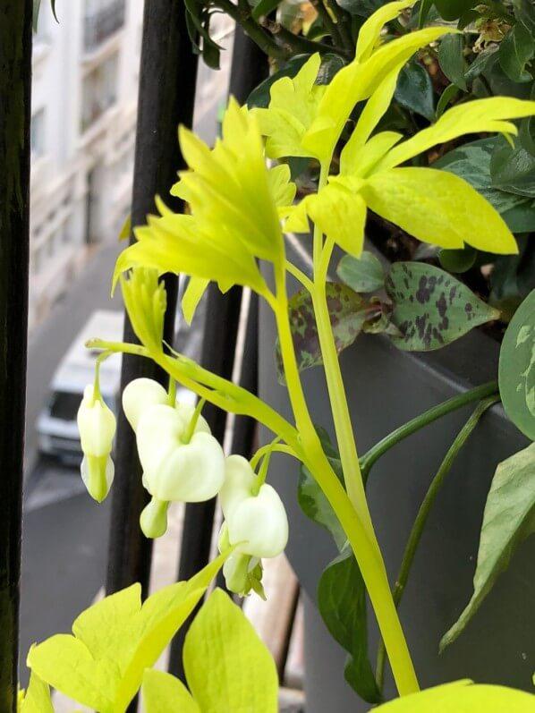 Lamprocapnos spectabilis 'White Gold' au début du printemps sur mon balcon parisien, Paris 19e (75)
