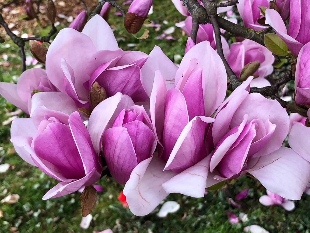 Magnolia x soulangeana 'Burgundy' au début du printemps dans l'École du Breuil, Paris 12e (75)