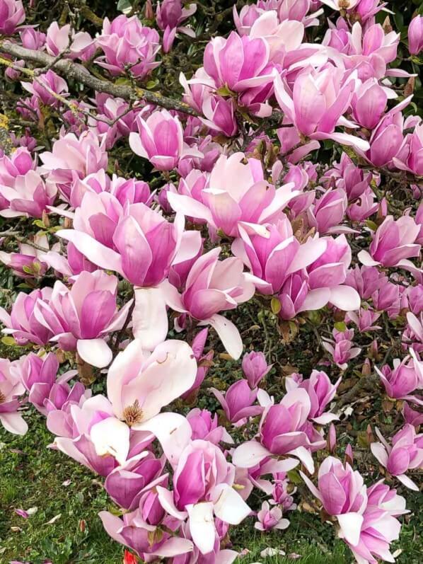 Magnolia soulangeana 'Burgundy' fleuri au début du printemps dans l'École du Breuil, Paris 12e (75)
