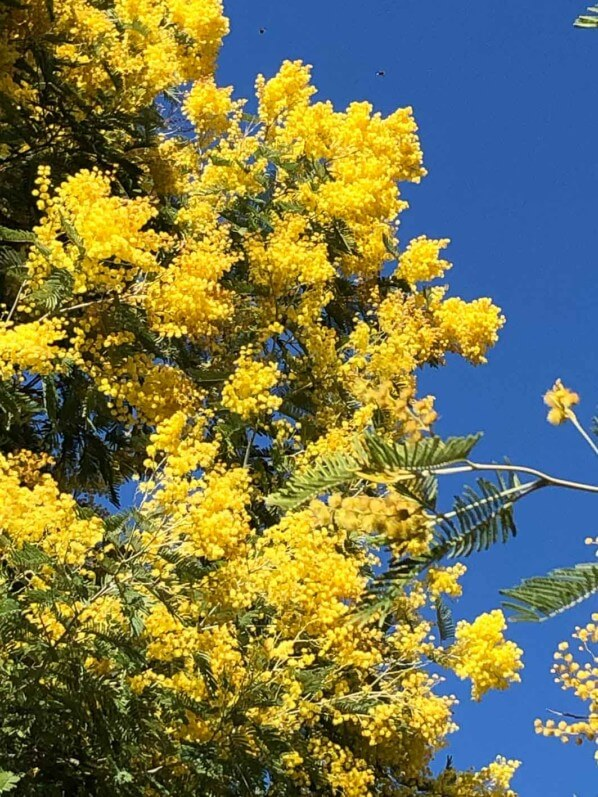 Mimosa, Acacia decurrens 'Rustica', en fin d'hiver dans le Jardin des Plantes, Paris 5e (75)