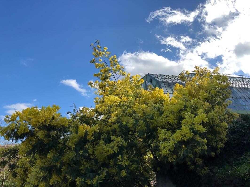 Le mimosa du Jardin des Plantes de Paris - Paris côté jardin
