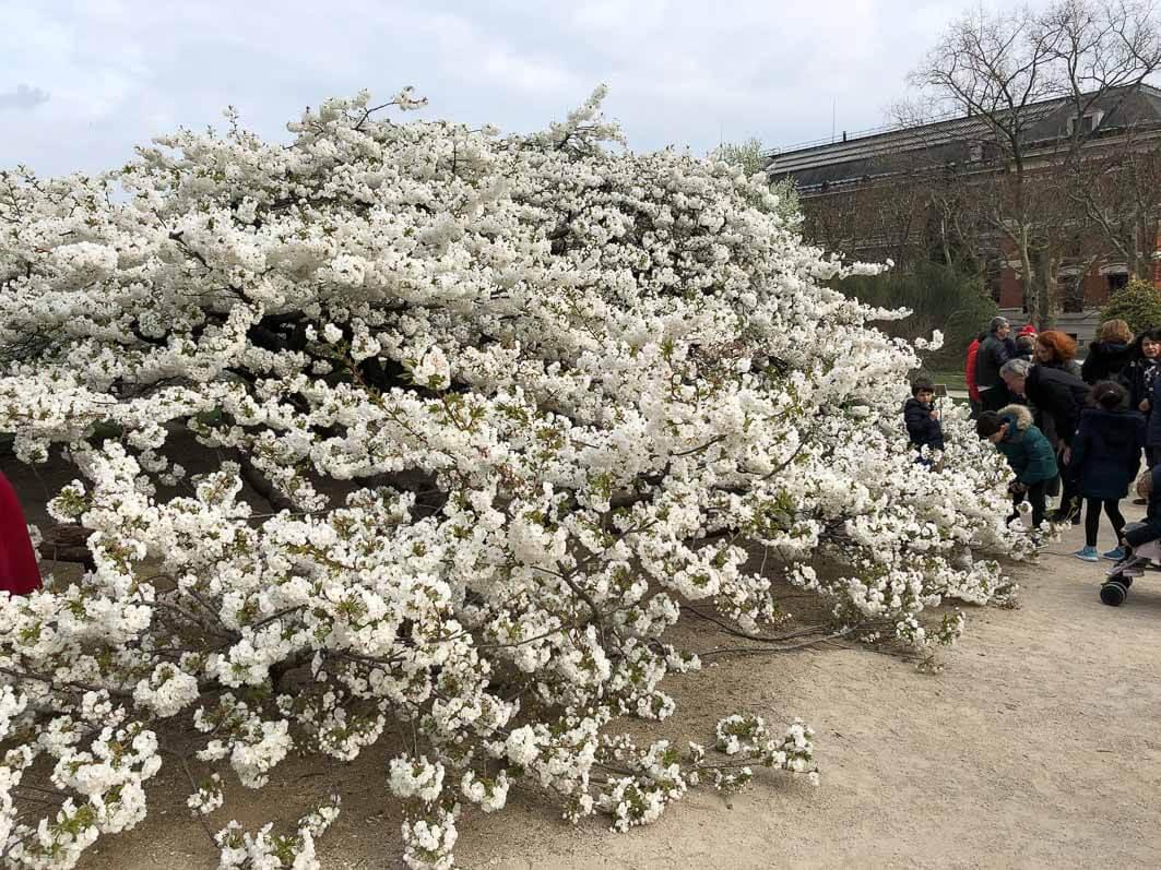 Le magnifique et vénérable cerisier à fleurs du Jardin des Plantes ...
