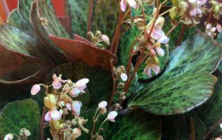 Begonia blancii forme marbrée, Bégoniacées, feuillage décoratif, plante d'intérieur, terrarium, Paris 19e (75)