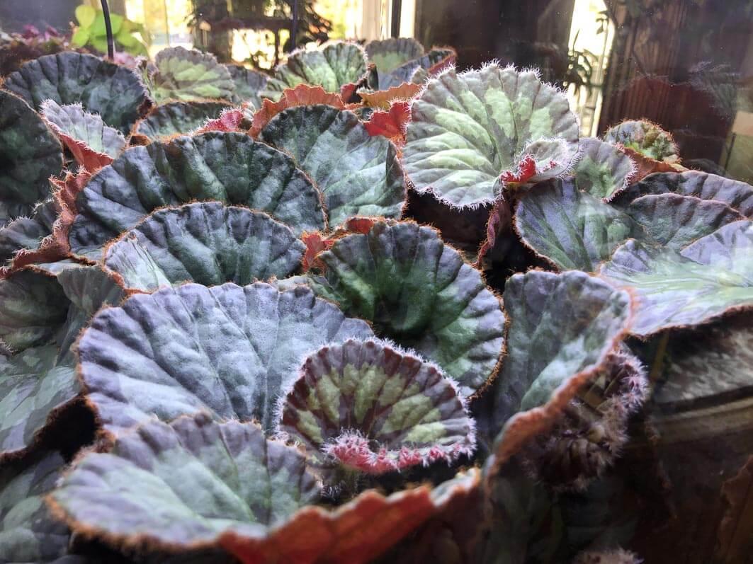 Begonia mashanica, Bégoniacées, feuillage décoratif, plante d'intérieur, terrarium, Paris 19e (75)