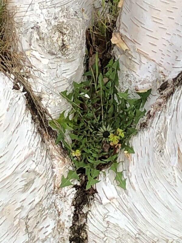 Pissenlit entre les troncs d'un bouleau de l'Himalaya (Betula utilis) au début du printemps dans l'École du Breuil, Paris 12e (75)