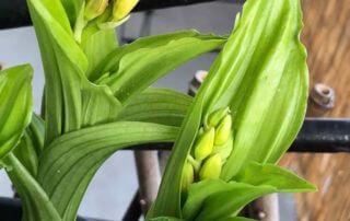 Calanthe prête à fleurir au début du printemps sur mon balcon parisien, orchidée, Orchidacées, Paris 19e (75)