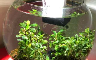 Aquarium Duo waterfall globe avec Bucephalandra 'Wavy Green', Araceae, Paris 19e (75)