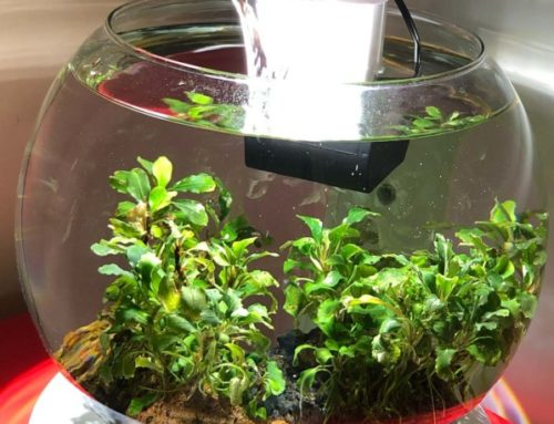 Nano aquarium Duo Waterfall Globe pour culture de Bucephalandra