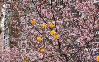 Prunus cerasifera 'Atropurpurea', Prunus cerasifera 'Pissardii' en fin d'hiver dans Paris 14e (75)