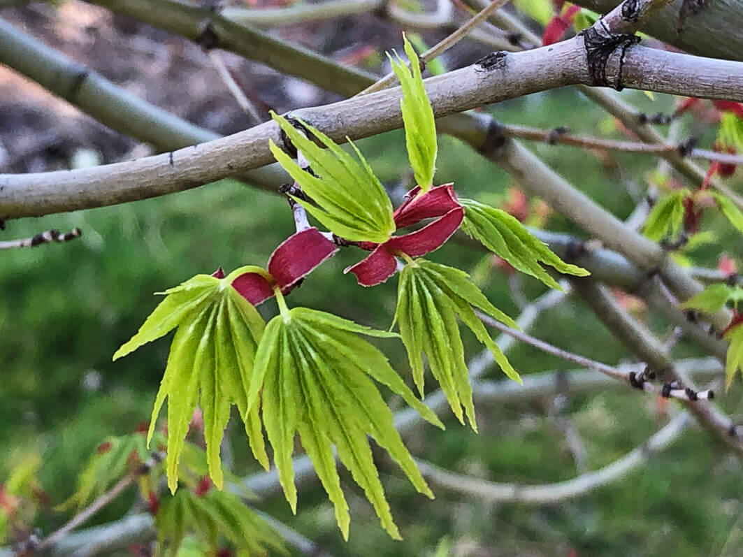 Jeunes feuilles de l'érable palmé (Acer palmatum) en fin d'hiver dans le Jardin des Plantes, Paris 5e (75)