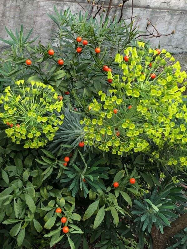 Euphorbe des garrigues et pommier d'amour au début du printemps dans le Jardin des Combattants-de-la-Nueve, Paris 4e (75)