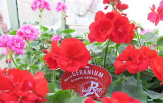Géraniums zonales (Pelargonium) Label Rouge