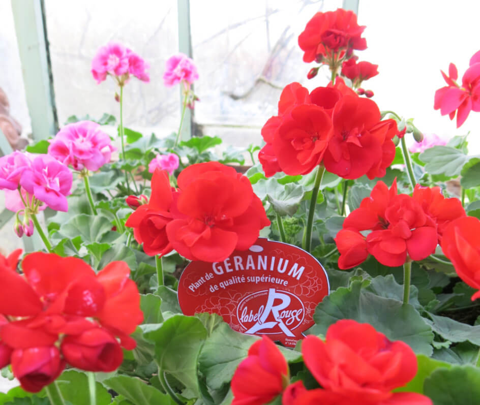 Géraniums zonales (Pelargonium) Label Rouge