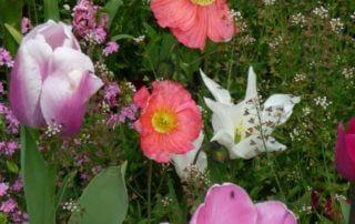 Parterre de myosotis, tulipes et pavots nudicaules, printemps