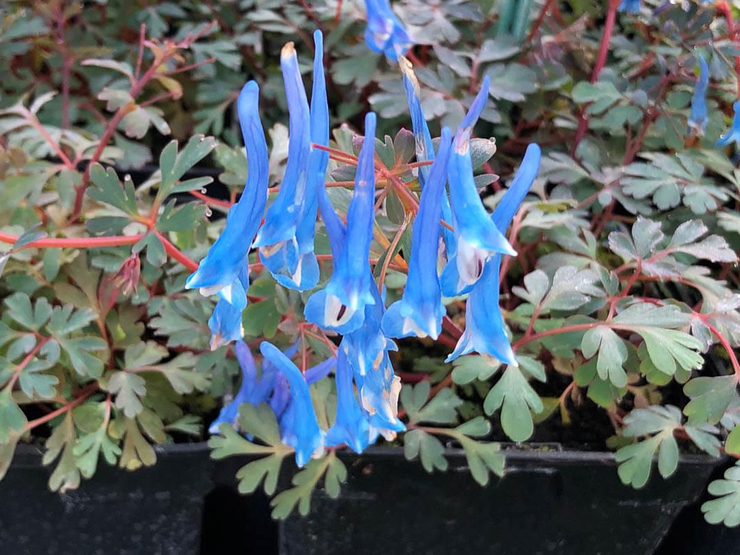 Corydalis flexuosa 'Blue Heron', Le Châtel des Vivaces, Fête des Plantes Printemps, château de Saint-Jean de Beauregard (91)