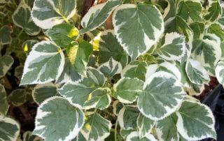 Hydrangea anomala ssp petiolaris 'Silver Lining', feuillage panaché, Pépinières Travers, Fête des Plantes Printemps, château de Saint-Jean de Beauregard (91)