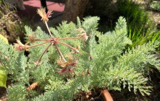 Pelargonium bowkeri au printemps dans le Parc Floral de Paris, Paris 12e (75)