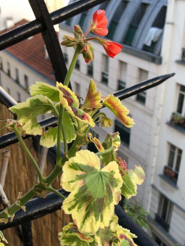 Premières fleurs du Pelargonium 'Tricolor' au début du printemps sur mon balcon parisien, Paris 19e (75)