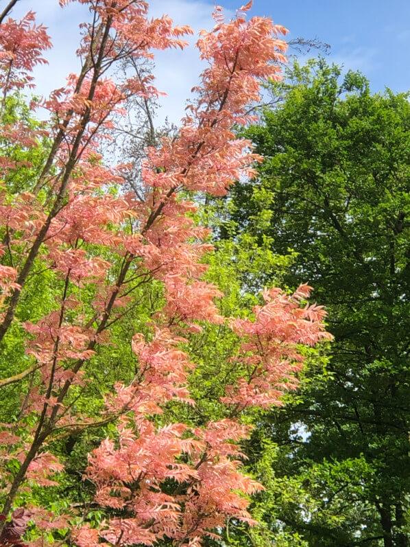 Toona sinensis 'Flamingo' au printemps dans le Parc Floral de Paris, Paris 12e (75)