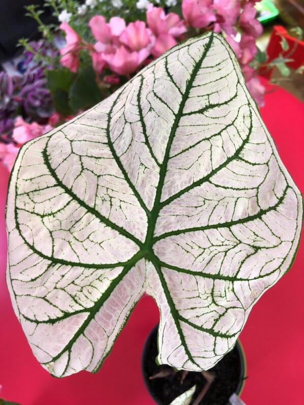 Caladium 'White Christmas', Araceae, plante d'intérieur, Paris 19e (75)